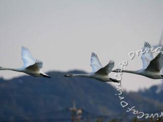 八丁堰の白鳥