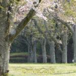 昭和の森、名残の桜