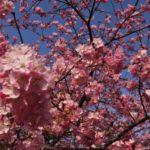 2月に白子町で河津桜